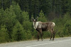Male caribou staring at me on the road in Canada. Male caribou on side of the road in British Columbia, Canada. Male with antlers. Staring at photographer stock photos
