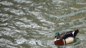 Male carolina duck (Aix sponsa) on the water.  Stock Image