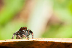 Male Carrhotus viduus jumping spider waiting for someone. Lonely Stock Photography