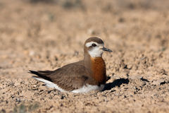 Male of Caspian plover Charadrius asiaticus Royalty Free Stock Images