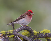 Male Cassins Finch Royalty Free Stock Photos