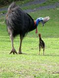 Male cassowary with chick. A wild male cassowary looking at his chick Royalty Free Stock Photography