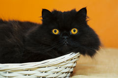 Male cat in basket on orange background Royalty Free Stock Photos