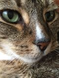 Male cat | leopard markings | green eyes. Close up of male Tabby Cat with green eyes and stripe on his Stock Images