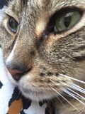Male cat | leopard markings | green eyes. Close up of male Tabby Cat with green eyes and stripe on his Stock Photo