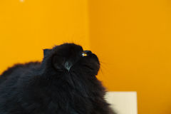 Male cat looking up at orange background Stock Images