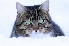 A male cat looks curiously out of the snow Stock Images