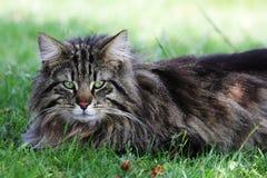 Male cat Norwegian. Portrait of a male cat Norwegian Stock Photos