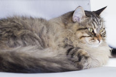 Male cat of siberian breed, brown tabby Royalty Free Stock Photos