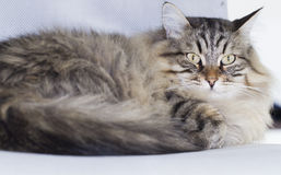 Male cat of siberian breed, brown tabby Royalty Free Stock Photo