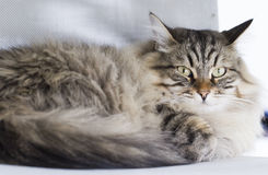 Male cat of siberian breed, brown tabby Royalty Free Stock Image
