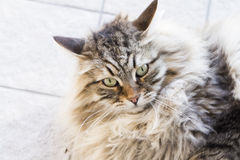 Male cat of siberian breed, brown tabby version in the garden Royalty Free Stock Photos