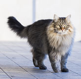 Male cat of siberian breed, brown tabby version in the garden Stock Photos