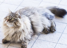 Male cat of siberian breed, brown tabby version in the garden Stock Photography
