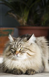 Male cat of siberian breed, lying in the garden Royalty Free Stock Photo