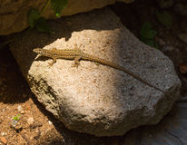 Male Catalan Wall Lizard basking on stone. A male Catalan Wall Lizard - Podarcis liolepis - basking on a round stone in eastern Spain, Catalonia Stock Photos