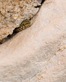 Male Catalonian Wall Lizard in cave. A male catalonian Wall Lizard - Podarcis liolepis - looks out of it`s hideout in a rocky wall Royalty Free Stock Image