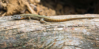 Male Catalonian Wall Lizard on a log. A male Catalonian Wall Lizard - Podarcis liolepis - basking on a log in southern Europe Royalty Free Stock Image