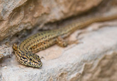 Male Catalonian Wall Lizard portrait. A close-up of a male Catalan Wall Lizard - Podarcis liolepis in eastern Spain, Catalonia Royalty Free Stock Image