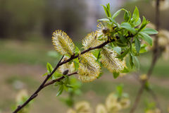 Male catkin willow flower. On a tree branch in spring Stock Image