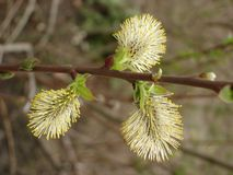 Male catkin of willow Royalty Free Stock Images