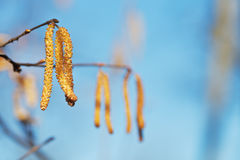 Male catkins of Alder tree close Royalty Free Stock Photo