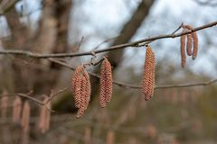 Male catkins on a common hazel tree Latin corylus avellana from the birch family or betulaceae the fruit is the hazelnut in winter. In the marshes or pallude royalty free stock photo