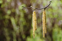 Male catkins of a corkscrew hazel Stock Image