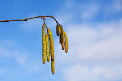 Male catkins of hazel against the blue sky, concept pollen aller Royalty Free Stock Images