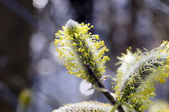 Male catkins on a willow Stock Photo