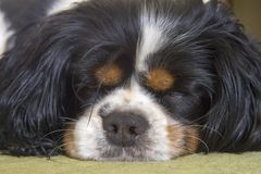Male Cavalier King Charles Spaniel dog sleeping royalty free stock image