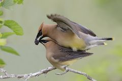 Male Cedar Waxwing offering his mate a mulberry during copulatio Royalty Free Stock Photography