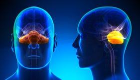 Male Cerebellum Brain Anatomy - blue concept Royalty Free Stock Photos