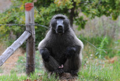 Male Chacma Baboon. Male seated Chacma baboon in Tokai forest with exposed genitals Stock Photos