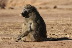 Male Chacma baboon in Kruger National Park,  South Africa stock photo