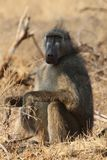 Male Chacma baboon in Kruger National Park,  South Africa royalty free stock image