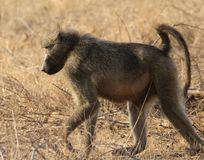 Male Chacma baboon in Kruger National Park,  South Africa royalty free stock photos