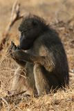 Male Chacma baboon in Kruger National Park, South Africa stock image