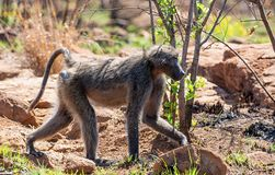 Male Chacma Baboon. A male Chacma baboon walking in Southern African savanna stock images