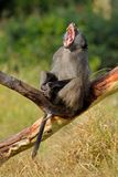 Male chacma baboon yawning stock photo