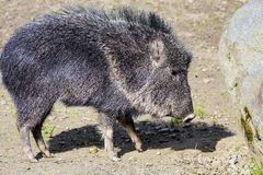 Male Chacoan peccary, Catagonus wagneri Royalty Free Stock Images