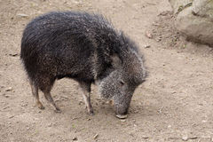 The male Chacoan peccary, Catagonus wagneri Royalty Free Stock Image
