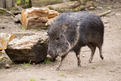 The male Chacoan peccary, Catagonus wagneri Royalty Free Stock Photography