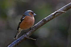 Male Chaffinch. A male Chaffinch on a small branch Royalty Free Stock Photography