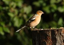 Male Chaffinch. Portrait of a male Chaffinch feeding Stock Image
