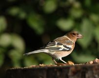 Male Chaffinch. Portrait of a male Chaffinch feeding Stock Photography