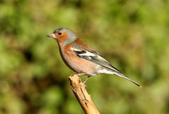 Male Chaffinch. Portrait of a male chaffinch Stock Photo