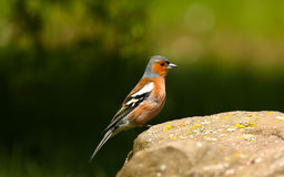 A Male Chaffinch. In full colour stood on a rock stock photo