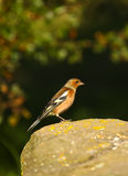Male Chaffinch. A male chaffinch in full colour stood on a rock royalty free stock images
