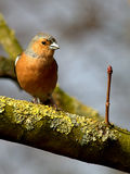 Male chaffinch. On lichen covered tree branch Royalty Free Stock Image